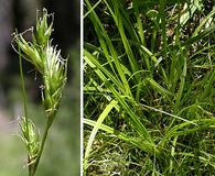 Carex deweyana