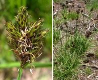 Carex ebenea