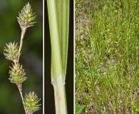 Carex festucacea