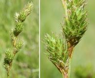 Carex feta