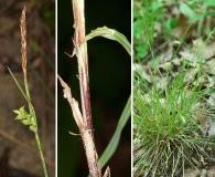 Carex gracilescens
