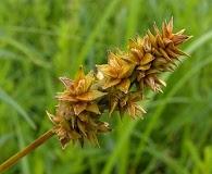 Carex gravida