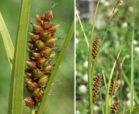 Carex houghtoniana