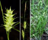 Carex louisianica