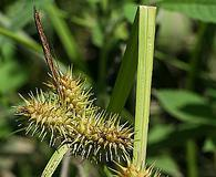 Carex lurida
