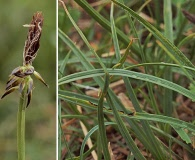Carex micropoda