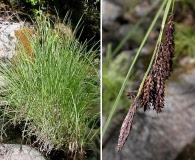 Carex nudata
