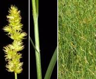 Carex oklahomensis