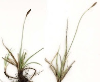 Carex parryana