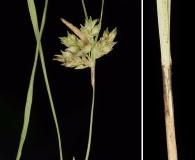 Carex planostachys