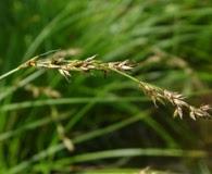 Carex prairea