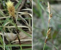 Carex richardsonii