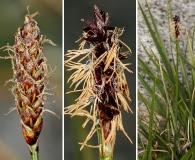 Carex scirpoidea