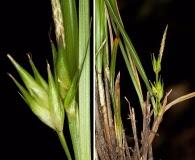 Carex superata