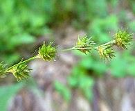 Carex tenera