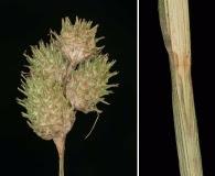 Carex tetrastachya