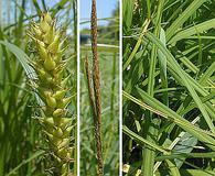 Carex trichocarpa