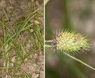 Carex typhina