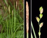 Carex woodii