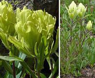 Castilleja occidentalis