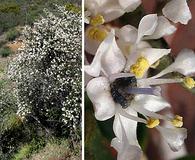 Ceanothus megacarpus