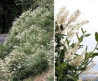 Ceanothus palmeri