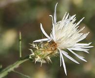 Centaurea diffusa