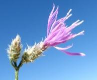 Centaurea virgata