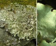 Cetrelia chicitae