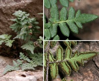 Cheilanthes horridula