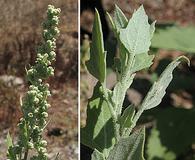 Chenopodium berlandieri