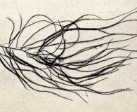 Chordaria flagelliformis