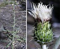 Cirsium brevifolium