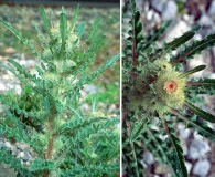 Cirsium drummondii