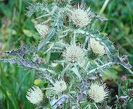 Cirsium hookerianum
