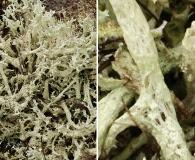 Cladonia boryi