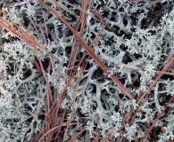 Cladonia caroliniana