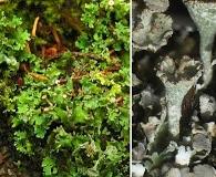 Cladonia macrophyllodes