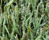 Cladonia subradiata