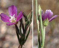 Clarkia affinis