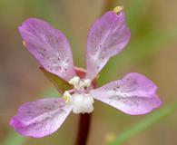 Clarkia modesta