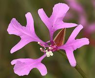 Clarkia pulchella