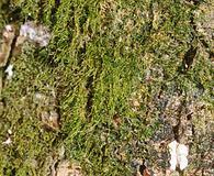 Clasmatodon parvulus