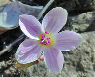 Claytonia rosea