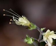 Collinsonia anisata