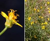 Coreocarpus arizonicus