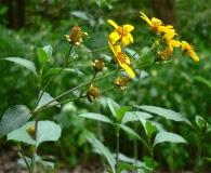 Coreopsis mutica
