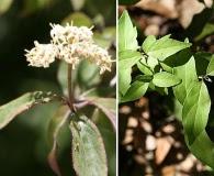 Cornus asperifolia