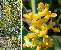Corydalis curvisiliqua
