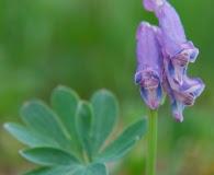 Corydalis pauciflora